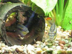 Pelvicachromis pulcher (парочка)