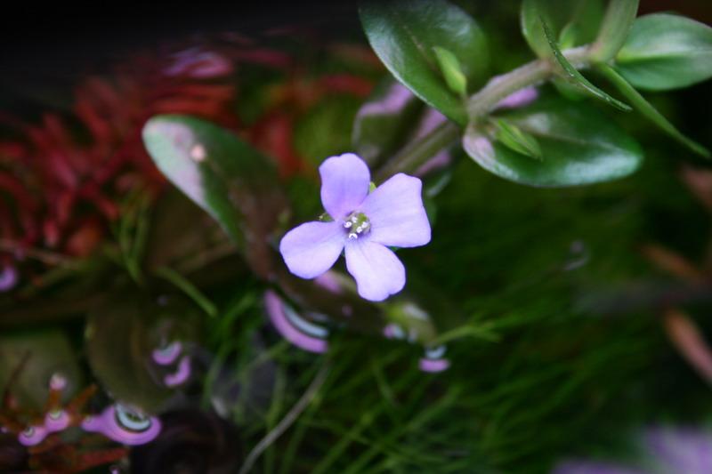 Бакопа цветет 1