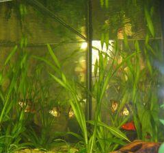 Барбус суматранский, меченосец-рубин