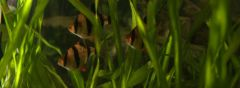Барбус суматранский
