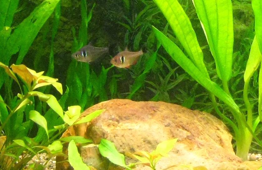 Чёрный Орнатус самец и самка