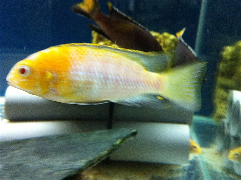 Tropheops sp. Red Cheek Albino