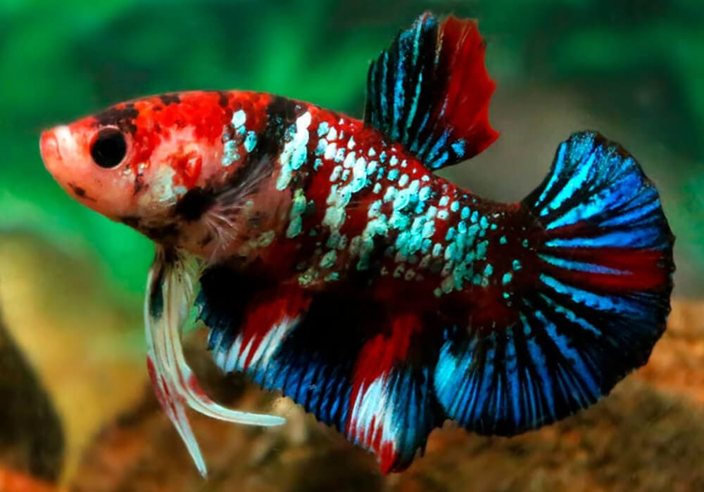 Betta-splendens-PK-Koi-Galaxy-6.jpg