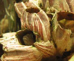 Цихлиды Танганьики