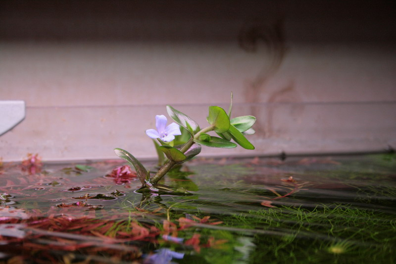 Бакопа цветет 2