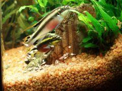 Pelvicachromis pulcher - на прогулке
