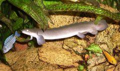 P. senegalus